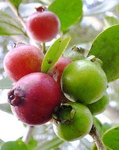 Cherry Guava (Psidium cattleianium) Fruit Plants, Edible Plants, Edible Garden, Exotic Fruit, Tropical Fruits, Fresh Fruits And Vegetables, Fruit And Veg, Fruit Love, Growing Fruit Trees