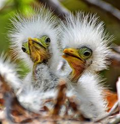 Egert chicks - so ugly they're cute