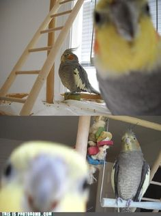 Parrot photobombs! This cockatiel won't let his buddy have the spotlight.