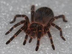 Tarantula, had one named Lucy my senior year
