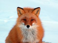 Google Image Result for http://imagesofpets.com/wp-content/uploads/2009/04/21-04-foxes-1.jpg
