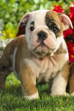 Top 5 Amazing Bulldog Puppies