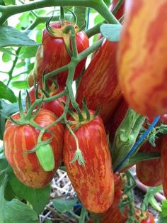 Exotic Fruit, Tropical Fruits, Fruit And Veg, Fruits And Vegetables, Potager Bio, Strange Fruit, Growing Tomatoes In Containers, Heirloom Tomatoes, Garden Features