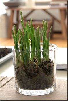 A new trend - growing tulips indoors
