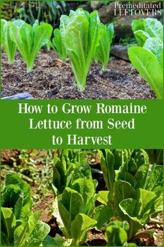 How to Grow Romaine Lettuce in your vegetable garden. Gardening tips for growing romaine lettuce from seed to harvest. How to Grow Romaine Lettuce in your vegetable garden. Gardening tips for growing romaine lettuce from seed to harvest. Growing Tomatoes From Seed, Growing Tomatoes In Containers, Growing Vegetables, Grow Tomatoes, Growing Plants, Diy Gardening, Organic Gardening Tips, Gardening For Beginners, Gardening Books