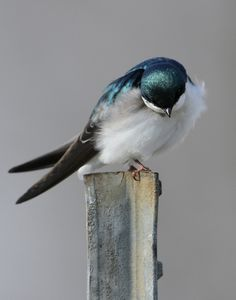 A Bowing Tree Swallow