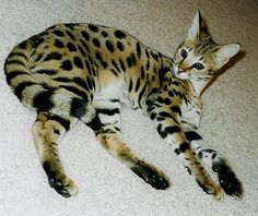 #3 Savannah Cat (Domestic Cat + Serval)