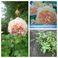 Rosa Crown Princess Margareta: van David Austin is een nieuwe aanwinst voor de Gele Rozenborder.  Zij is geplant tussen twee rozen struiken, van Rosa Abraham Darby17-8-2016.