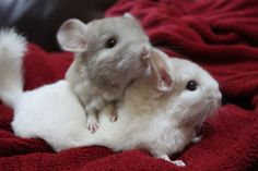 Chinchillas fur is very dense and have 50-80 hairs growing out of a single follicle compared to a human's which only grows 2-3 hairs per follicle. URL: http://chinchilla.co/ FB fan page: https://www.facebook.com/chinchilla.co