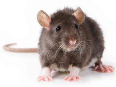 Las ratas estan en las montañas de basura de vez en cuando.