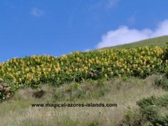 Ginger plants at Santa Iria Miradouro (lookout) in August. At #SaoMiguel #Azores