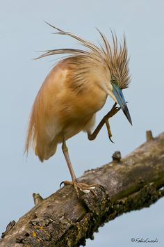 Spring Cleaning (Squacco Heron, Ardeola ralloides) by Fabio Cucchi on Flickr
