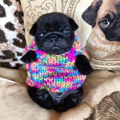 "Adorable black pug puppy in a sweater - from <a href=""http://Cheezburger.com"" rel=""nofollow"" target=""_blank"">Cheezburger.com</a>"