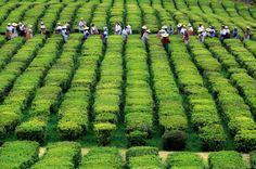 Plantação de chá - Açores