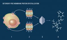 Biophysicists propose new approach for membrane protein crystallization