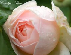 Heritage-a David Austen rose
