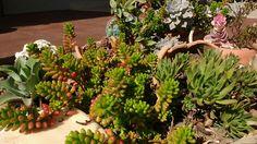 Vasos de barro compondo nosso jardim de suculentas