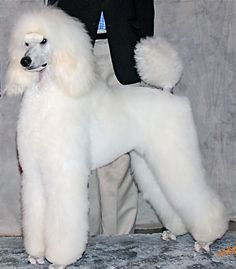 us our poodles puppies articles album links contact us 2003 standard ...1243 x 1417   409.8 KB   www.standardkennel.com