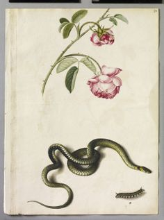 Alexander Marshal Cabbage Rose, Snake and Drinker Moth Caterpillar Larva, mid 17th century. Royal Collection, © 2010, Her Majesty Queen Elizabeth II