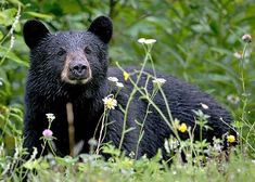 Wildlife Research Prospers in the Pandemic Sloth Bear, Bear Cubs, Grizzly Bears, Carlsbad Flower Fields, American Black Bear, Trophy Hunting, Wildlife Conservation, Back To Nature, Safety Tips