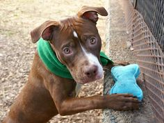 RETURNED 3/24/17 ALLERGIES! SAFE 2/25/17!! SUPER URGENT Manhattan Center JR – A1103983 **RETURNED 03/24/2017** NEUTERED MALE, BROWN / WHITE, STAFFORDSHIRE MIX, 8 mos RETURN – ONHOLDAVAI, HOLD FOR LICENSED Reason ALLERGIES Intake condition EXAM REQ Intake Date 03/24/2017, From NY 10453, DueOut Date 03/24/2017,