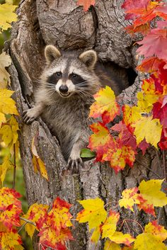 Raccoon in hole in tree with fall color, Pine County, MN  Copyright: © Cathy & Gordon ILLG