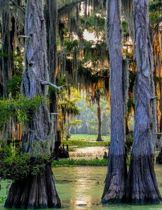 Caddo Lake, Texas - Cypress Trees | by dave_hensley
