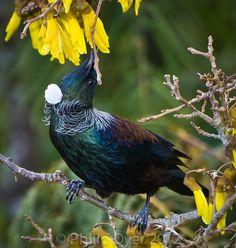 Tui - New Zealand native bird feeding in Kowhai tree