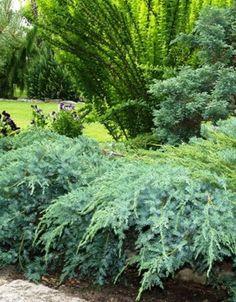 Sinikataja - Juniperus squamata ´Blue carpet´