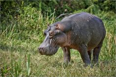 Poster Nilpferd oder Flusspferd, Queen-Elizabeth-Nationalpark, Uganda 2