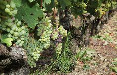 Château La Gravière Bellefond Bordeaux, Fruit, Stone Driveway, Wine Vineyards, Bordeaux Wine
