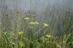 Yellow fennel and bronze sanguisorba flowers with molinia against a grey wall Planting Grass, Privacy Plants, Border Plants, Coastal Gardens, Backyard Garden Design, Annual Plants, Container Flowers, Colorful Garden, Ornamental Grasses