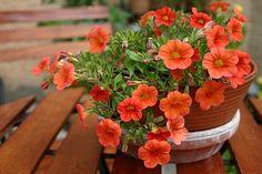 Gartentipps: Mini-Petunien: zauberhafte Zauberglöckchen für Terrasse und Balkon  http://gartensaison-gartentipps.blogspot.de/2013/06/mini-petunien.html