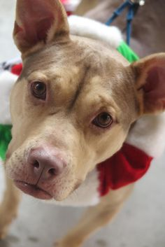 NO LONGER LISTED- Meet JOSEY, an adoptable Pit Bull Terrier looking for a forever home in SOUTH CAROLINA. If you're looking for a new pet to adopt or want information on how to get involved with adoptable pets, Petfinder.com is a great resource.