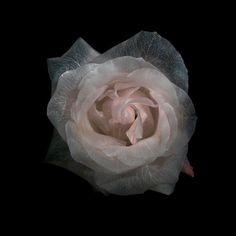 Floral Transparency - A. James