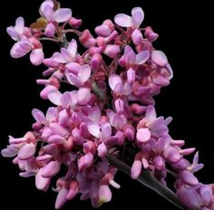 Cercis siliquastrum Judas Tree 10 seeds