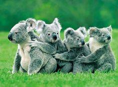 Koala Conga Line - Native Australian Animals Photo Animaliere, Photo Chat, Wildlife Photography, Animal Photography, Cute Baby Animals, Animals And Pets, Nature Animals, Australian Animals, Tier Fotos