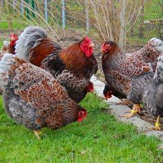 Rate this post Blue laced Wyandottes. Thanks to Terry Beebe for the pic Blue laced Wyandottes. Thanks to Terry Beebe for the pic Fancy Chickens, Keeping Chickens, Chickens And Roosters, Raising Chickens, Chickens Backyard, Raising Goats, Cochin Chickens, Chicken Life, Hen Chicken