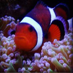 Nemo:-) #nemo #zeewater #world_shooters #savetheplanet #savetheearth #sps #rust #reef #pictures #oceaan #natuur #lps #aquarium #blijdorp #coral #corals #dsr #fish #genieten #greatbarrierreef #hardcoral #savetheworld #vis #zeewater #photooftheday #picoftheday #instagood #instadaily by stefanvonk1 http://ift.tt/1UokkV2