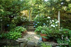 Hydrangeas, hostas, ferns in the secret garden - Photo: A Southern Garden