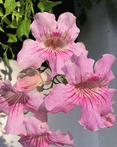 Flowertree in Marbella Spain. Blomstertræ i Marbella Spain.  I always take photos of flowers and faces - i might paint it some day. Jeg tager altid photo af blomster og ansigter - jeg får måske lyst til at male det en dag. Copyright by Www.anne-mette.com  #marbella #marbella2016 #spain #blomstertre #beautifull #happylife #flower #flowerstagram #flowerslovers #rosa #blomster #blomstertræ #kunst@anne-mette