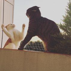 Believe me. That spider was really so long!  #luckythecat #charliethecat #love #cute #catsofsalzburg #unterfoehring #germany #cat #cutecatcrew #ilovemypet #catlovers #lovekittens #instapet #catsagram #kitten #kitty #catstagram #kittycat #catsofinstagram #ilovemycat #catlove #catoftheday #furry #cats_of_instagram #cats #catlife #katze #katzenliebe #catsagram #meow