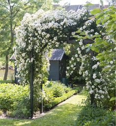 Rosa helenae species rose covers an arch | Claus Dalby
