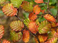 Lenga / Nothofagus / Southern Beech leaf color, Tierra del Fuego, Patagonia, Argentina.   portfolio.photoseek.com Ushuaia, Patagonia, Leaf Coloring, Travel Light, Fauna, South America, National Parks, Leaves, Flowers