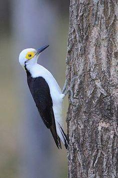Beyaz ağaçkakan