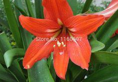 Home &garden  orange red big 2bulbs flower bulbs amaryllis seeds sementes de flores amaryllis bulbs casa a jardim garden gift