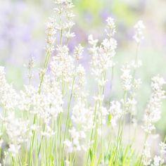 """White Lavender Haze"" by Judy M Tomlinson Photography  http://www.judymtomlinsonphotography.ca/ #printsforsale #londonontariophotographer #lavender#field"