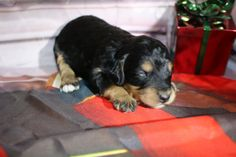All our puppies come with a two year health guarantee, micro-chipped, dew clawed, all shots and wormings for their age. Doodles, Nursery, Puppies, Female, Mini, Dogs, Animals, Animais, Animales