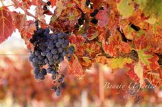 mature grapes enclosed by crimson leaves  award-winning photography by Beauty Unfurled www.beautyunfurled.com