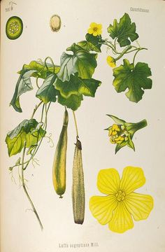 1887 - Medizinal Pflanzen, set of 4 volumes included plants of medicinal interest from several European nations. edited by Gustav Pabst, a German botanist. With nearly 300 over-sized illustrations, expertly drawn by the artists L. Müeller and C.F. Schmidt, and skillfully rendered by K. Gunther in chromolithography. via BHL